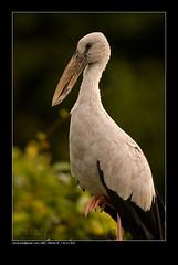 Penance... (Sandeep Somasekharan) Tags: bird waterbird ornithology birdwatching avian openbill asianopenbillstork birdphotography openbillstork sandyclix