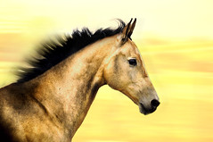 a golden sense of freedom (Dan65) Tags: horse blur speed gold golden head run explore 67 canter equine gallop buckskin dun teke akhal akhalteke gazan