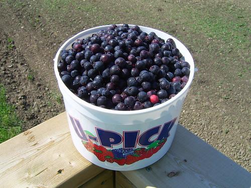 Bucket of Saskatoons