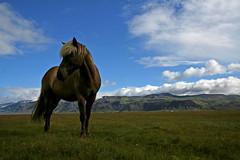 ------- (snorri.s) Tags: horse nature animal landscape iceland sland galope hestar hestur freephotos platinumphoto impressedbeauty naturallymagnificent lesamisdupetitprince reflectyourworld