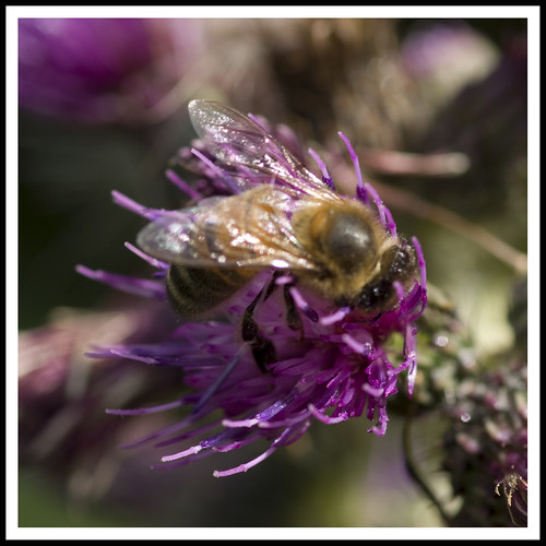 Bee on Thistle - New Forest