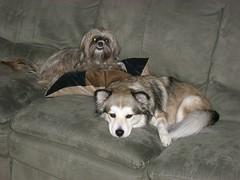 Rocky and Yasmine (chrishusein) Tags: corgi puppies rocky shitzu yasmine huskie