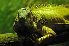 Iguana (itchybana) Tags: