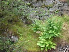 Ferns in a retaining wall (cosmosgarden) Tags: norway wildflowers flam