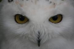 Portrait of a snow-owl (Mandy Verburg) Tags: portrait white bird animal canon zoo best portret wit dier snowowl vogel animalpark bestofthebest avifauna dierentuin naturesfinest vogelpark sneeuwuil thebiggestgroup eos400d mandyarjan platinumphoto
