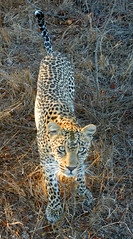 Eye contact (robep) Tags: southafrica safari leopard gamereserve djuma