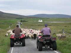 Rounding up the sheep in North Uist