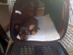 Her new sanctuary (jayallen) Tags: dog chihuahua puppy ophelia