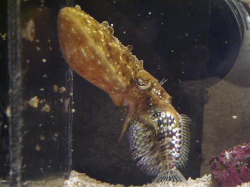 Cuttlefish and Lawnmower Blenny = Bad Idea!