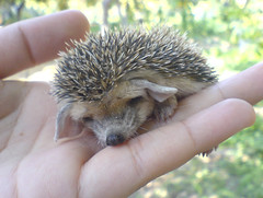 Hedgehog at Night - Appendix: How to find a hedgehog (BlueLunarRose) Tags: baby cute nature animal night explore hedge hedgehog cuteanimal sep28200894