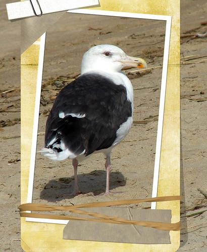 newburyport-Handsome-seagull
