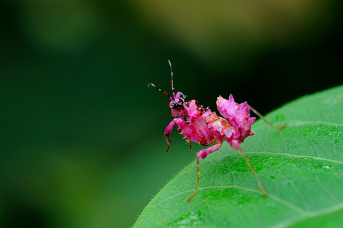 Pink Praying Mantis by loucigaloun04