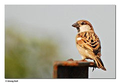 House Sparrow (Passer domesticus) (Umang Dutt) Tags: brown india bird birds closeup wow flying wings flickr image awesome beak picture aves sparrow ave indians nikkor potrait housesparrow passerdomesticus animalplanet magnificent fwd gujarat ahmedabad dutt umang 70300vr umangdutt slbperching