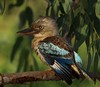 Blue-winged Kookaburra (maureen_g) Tags: bird wildlife australia kookaburra northernterritory topend goldenphotographer katherinegorgenp