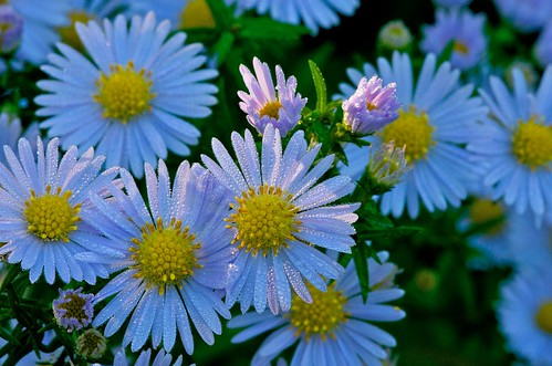 Aster flower covered in early morning dew