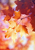 (Lee_Bryan) Tags: red orange newyork fall leaves canon maple bokeh centralpark autums omot ehbd