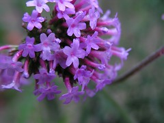 P1010017 (Chickpea981) Tags: butterfly catchycolors purple violet butterflies botanicalgarden brooksidegardens brookside catchycolorspurple catchycolorsviolet