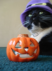 Julie & The Halloween Night (Srch) Tags: halloween cat pumpkin kat witch disfraz gata tuxedocat calabaza mascota bruja halloween2008 catnipaddicts