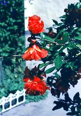 Eljegyzes1993_35 (emzepe) Tags: 1993 utca 20 44 virág attila kert június józsef szép eljegyzés kertben hódmezővásárhely eljegyzésünk anyukáéknál apósoméknál felíciáéknál