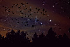 Night-gration (Fort Photo) Tags: sky nature composite night photoshop manipulated dark stars evening geese nikon colorado astrophotography orion co astronomy photoart constellation afterdark lightpollution d300 wetmountains impressedbeauty aplusphoto oraclex lesamisdupetitprince