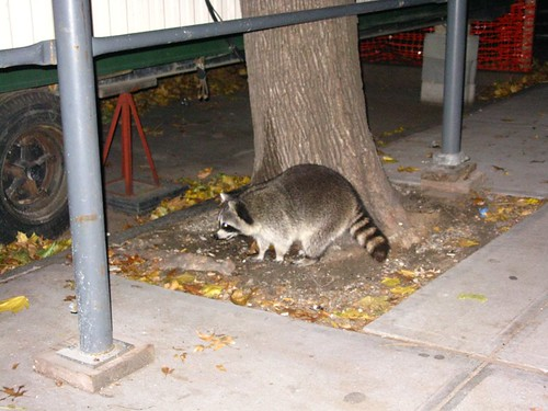 Raccoon in Brooklyn!