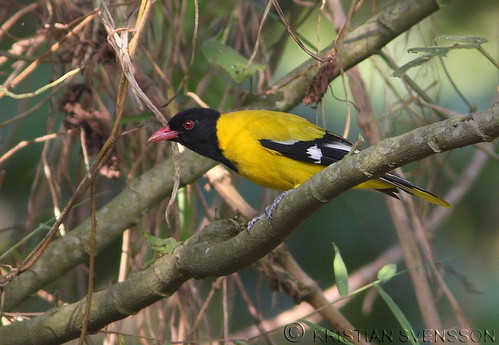 Black-tailed Oriole (Oriolus percivali) by macronyx.