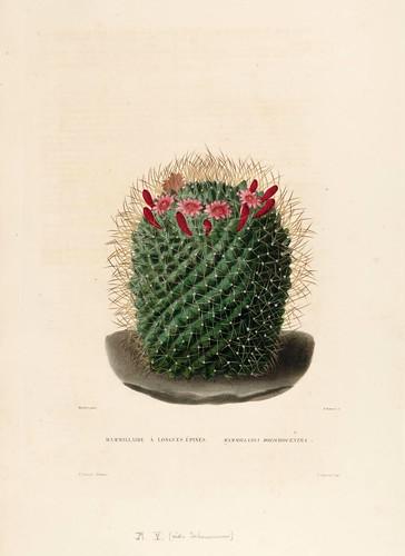 08-Mammillaria dolichocentra