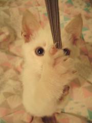 (Francis Reis) Tags: azul rosa gato 365 brincadeira gatobranco