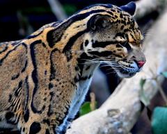 Tai (iSteveMD) Tags: zoo smithsonian dc washington lenstagged nikon national nationalzoo 2008 fonz d300 cloudedleopard 80400mmvr ar1 nzp specanimal mywinners stevepoole spoole2gmailcom