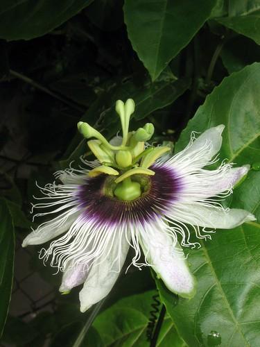 passiflora3