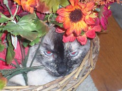 Jasmine (jumpyfrog0506) Tags: flowers cute girl female pose relax mouse pretty jasmine posing siamese angry string hiding purfect