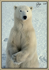 MERRY CHRISTMAS AND HAPPY NEW YEAR TO ALL - Orso Polare  /  Polar Bear (G.hostbuster) Tags: bear white snow ice animals neve polar bianco animali orso polare ghiaccio potofgold naturesfinest platinumphoto concordians goldwildlife goldstaraward multimegashot vosplusbellesphotos alittlebeauty freedomhawkawardedphotographer peregrino27newvision