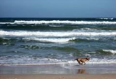 running_dog