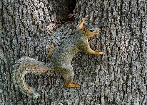 Squirrel & Red Oak