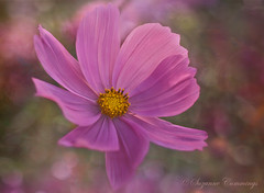 Cosmos-politan (SLEEC Photos/Suzanne) Tags: flower texture floral nikon bokeh cosmos tistheseason naturesfinest d80 fantasticflower dragondaggeraward betharmsheimertexture florabellatexture sailsevenseas gloriousnatureartcollection