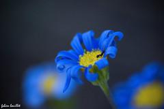 """Couleur """"bleu"""" (fabdebaz) Tags: macro fleur bleu 31 avril printemps bazige 2010 aficionados sudouest hautegaronne lauragais k10d pentaxk10d justpentax collectionnerlevivantautrement baziege"""