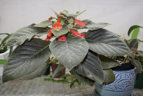 Kohleria Snake Skin plant