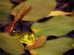 Frog Fatale ... (jinterwas) Tags: holland green water netherlands smiling yellow pond eyes funny groen looking nederland free frog cc creativecommons ogen lachen leafs geel kikker vijver grappig waterplant kijken bladeren hoogerheide freetouse