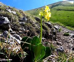 Primevère auricule=Primula auricula - Montée au Mont d'Armenaz 021