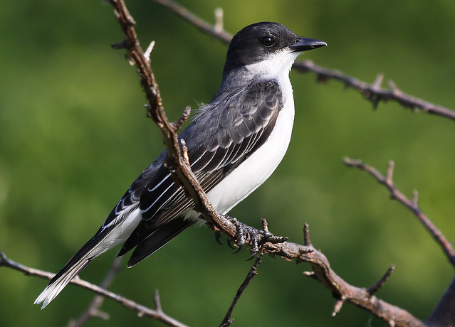 Eastern Kingbird best