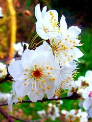 White Flowers (bonksie61) Tags: flowers white breathtaking smörgåsbord digitalcameraclub avision almostanything flowerwatcher betterthangood excellentsflowers floralfavorites mimamorflowers
