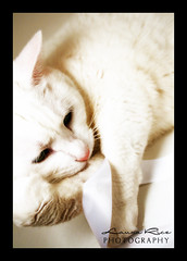Babe In Satin (Laura Rice Photography) Tags: cats white furry bright candid kitties ribbon satin lightbox whitecats brightwhite xti