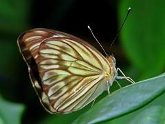 Borboleta (Pedro Cavalcante) Tags: canon butterfly powershot papillon borboleta mariposa soe farfalla sommerfugl schmetterling vlinder    abigfave anawesomeshot s5is theunforgettablepictures powershots5is goldstaraward pedrocavalcante