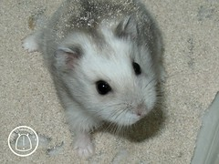 Shiraz (hesedetang *) Tags: animals dwarf explore hamster shiraz mammals rodents dwarfhamster pocketpets russiandwarfhamster myphotosonexplore