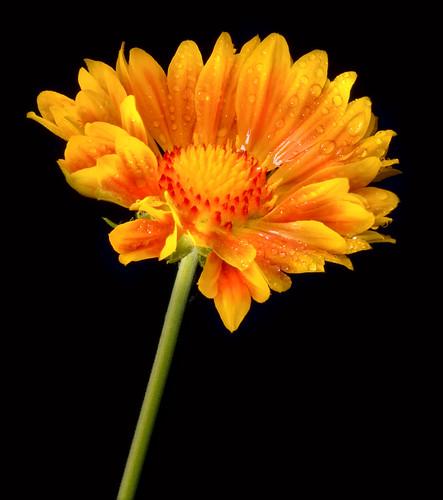 Gaillardia x grandiflora