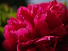 peony-blossom-closeup