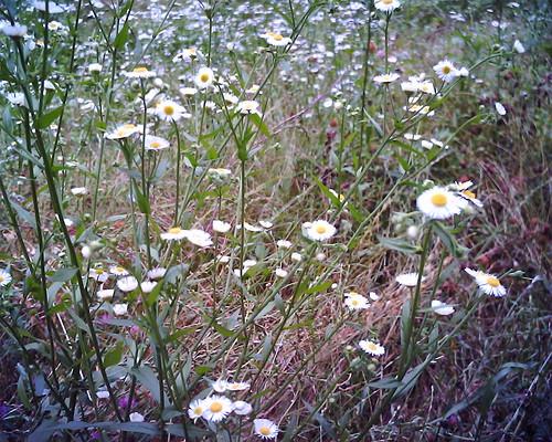 【写真】VQ1005で撮影した白い花の雑草