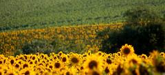 Girasoli / Sunflowers (Grandangolo) Tags: flowers italy holiday flower verde green landscape nikon mediterraneo italia mare campagna sunflower sole loreto luce marche girasoli regionemarche fiorita monteconero campagnamarchigiana