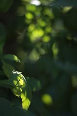 HBW! (Cherree Ward) Tags: light green leaves canon yummy bush shadows dof bokeh growth spots through shining 50mmf14 40d