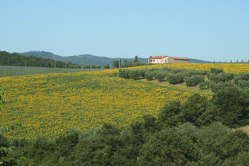 sunflower field_6876